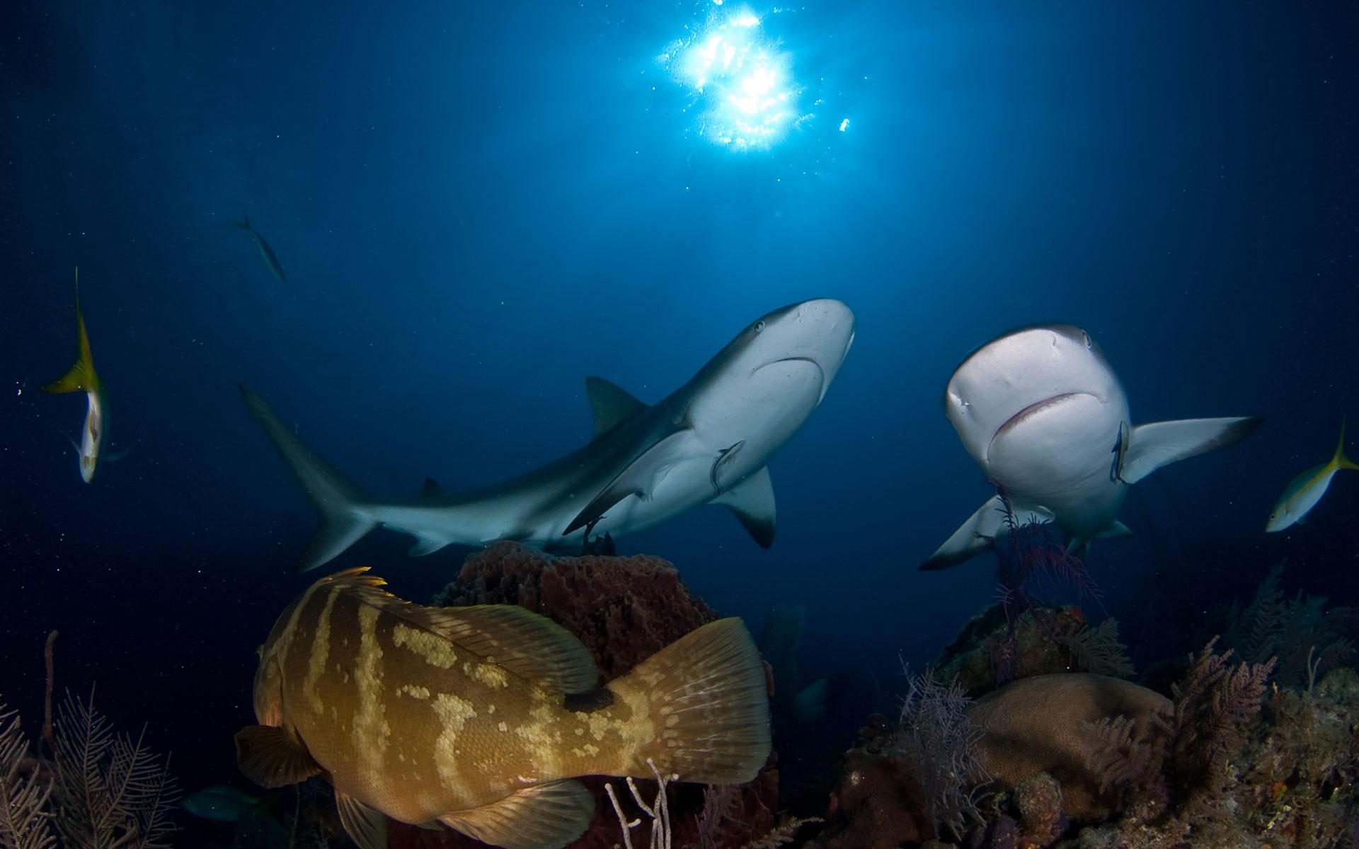 Shark diving the run Cuba